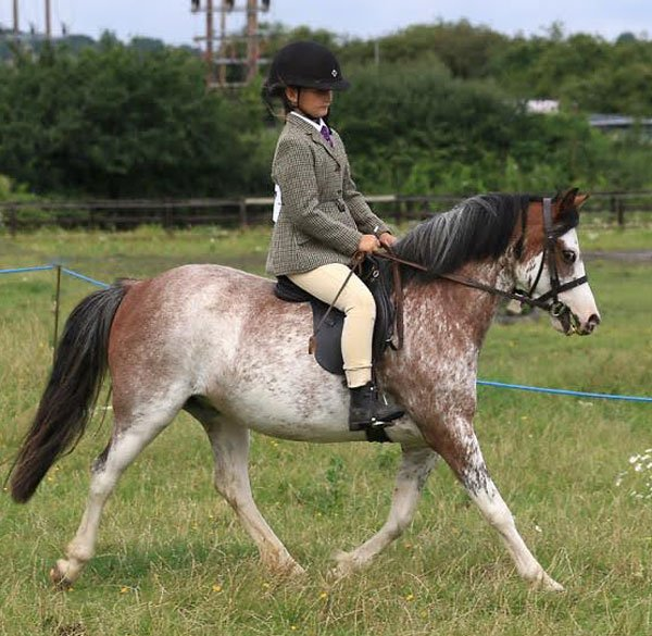 gwen the pony showing